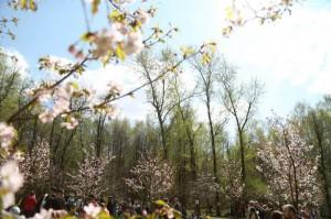 Цветение сакуры в Бирюлевском дендропарке начнется в конце апреля