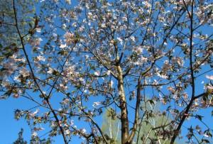 Цветение сакуры в Бирюлевском дендропарке