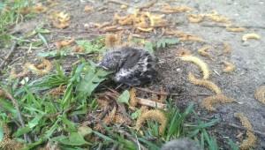 Трое птенцов выпали из гнезда в Бирюлевском дендропарке