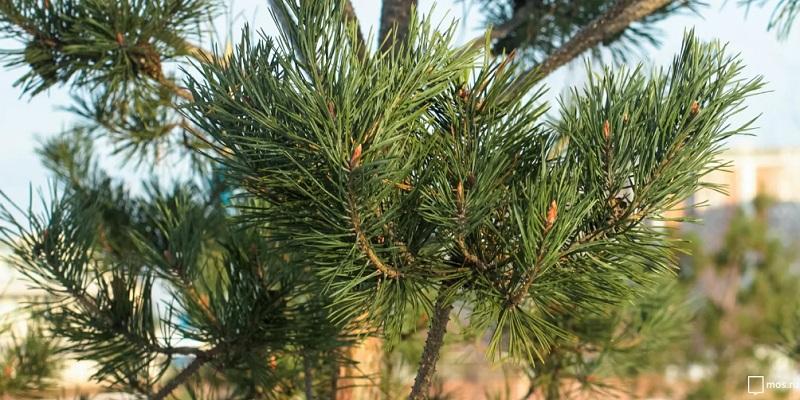 елка, хвоя, мосру, 2912