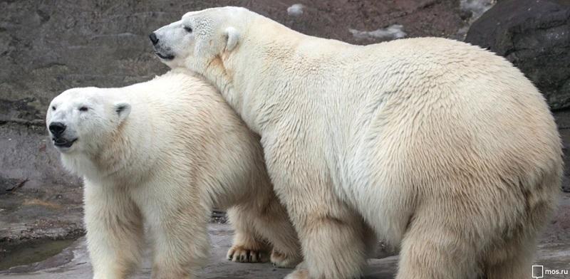 белые медведи, мосру, 2102