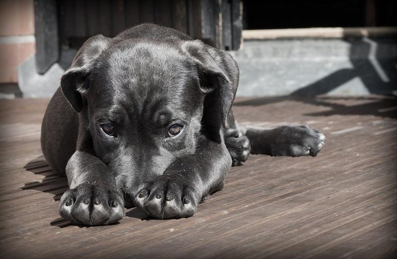 собака, пиксибей, 2502