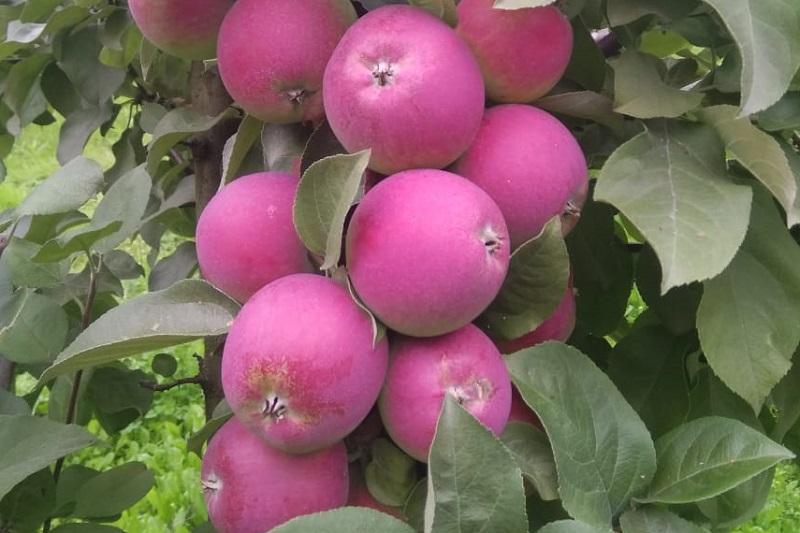 яблоко, Институт садоводства, Миронова, 1209 (7)