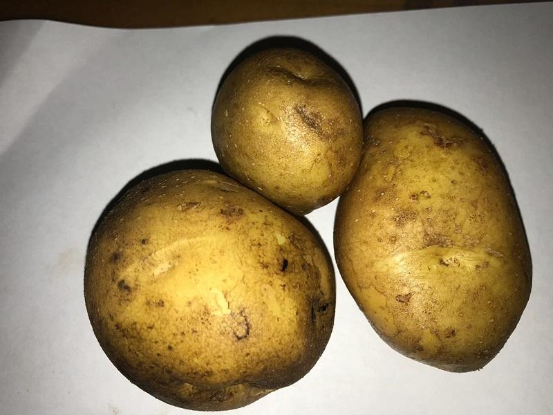 Картошка, Институт садоводства, Миронова, картофель, Колобок, 2910 (2)