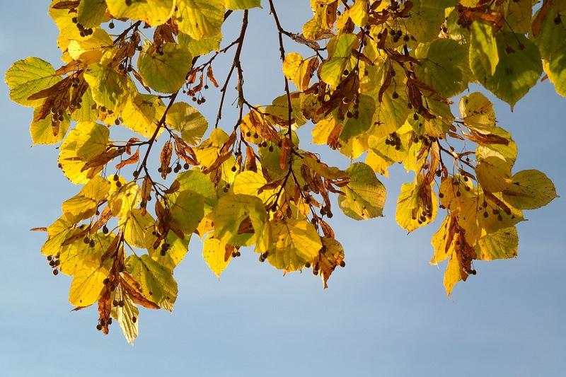 липа, дерево, осень, пиксибей, 0910